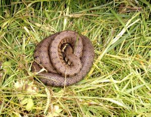 Grass snake found under tin refuge
